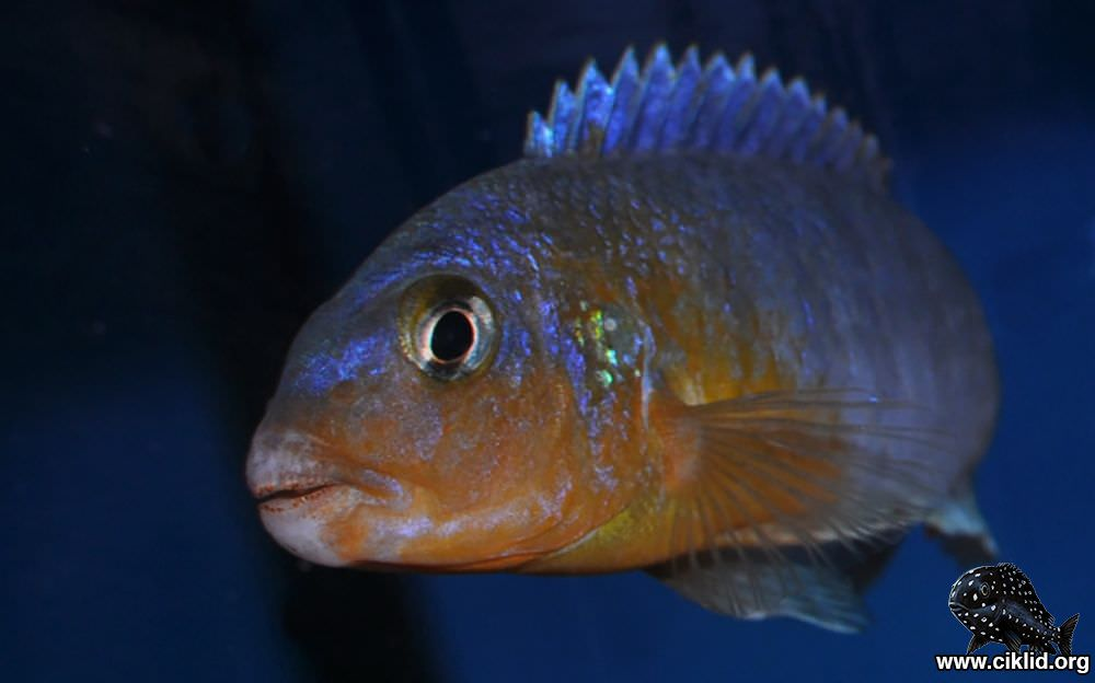 P_sp_perspicax_yellow_breast-Pombo02narbild-Ems-Vechte-Aquaristik.jpg